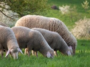 Schafschurwolle - Schafe